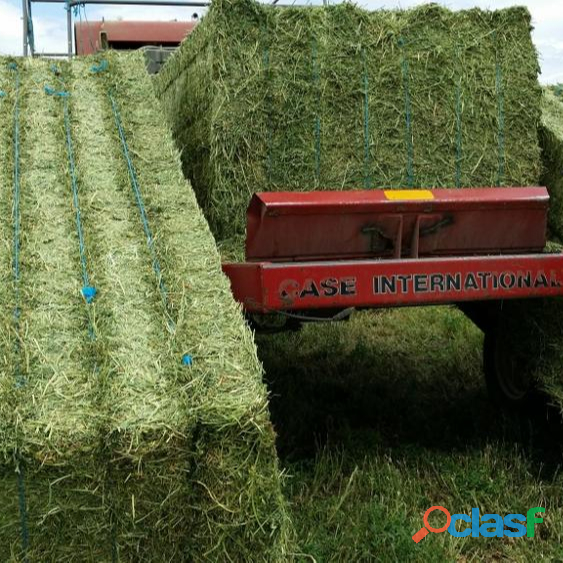 Top Quality American Alfalfa Hay Bales for Animal Feed 4