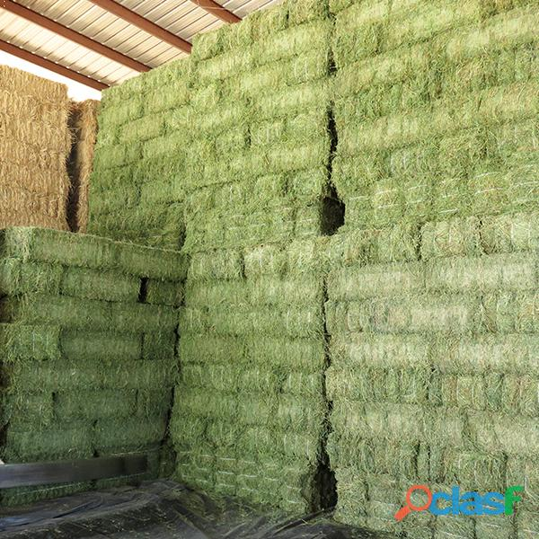 Top Quality American Alfalfa Hay Bales for Animal Feed 7