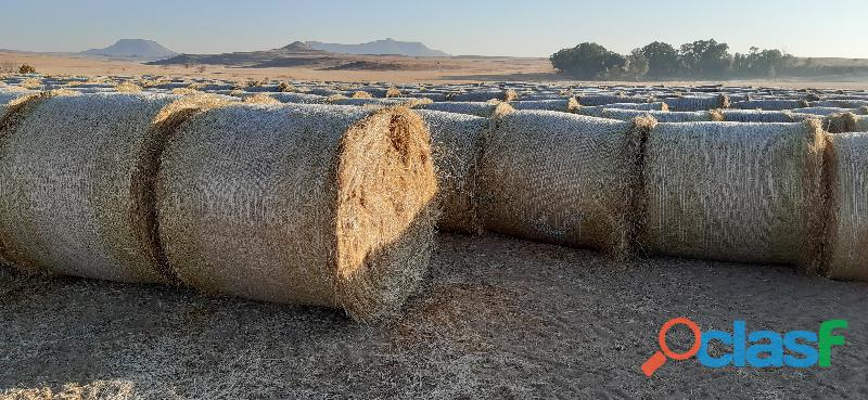 Teff Bales (Unharvested, Fertilized and netted)