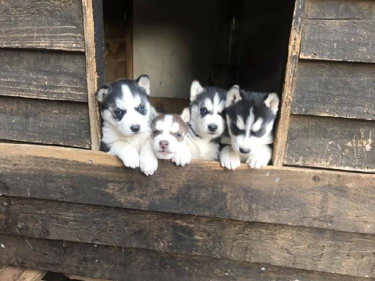 Siberian huskies pups for sale