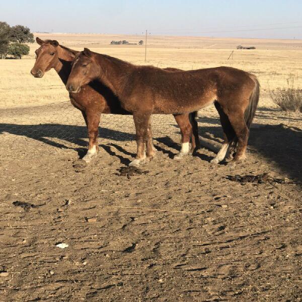 Boerperd qh cross mare for sale