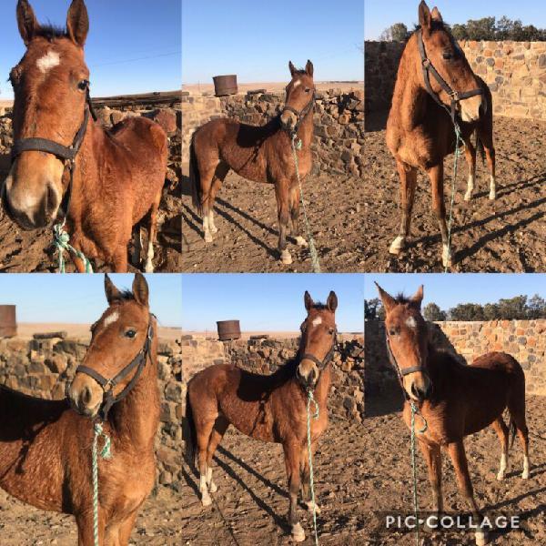 Arabian boerperd cross mare
