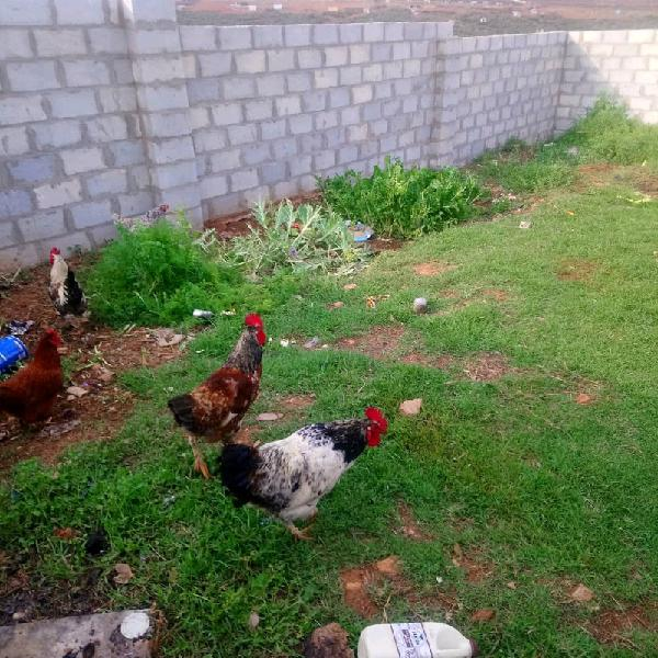 3 Roosters for sale