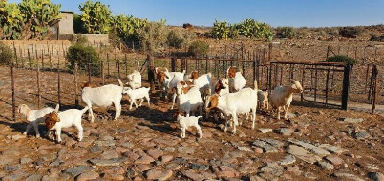 Boerbok ooie, 11 met 16 Lammers