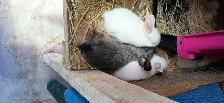 Baby bunnies for sale r50