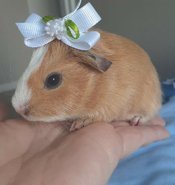Beautifull guinea pig babies