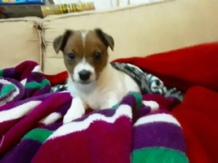 Jack russell puppy vaccinated and dewormed vet checked