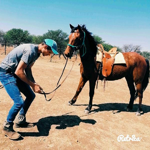 Friesian x boerperd horse