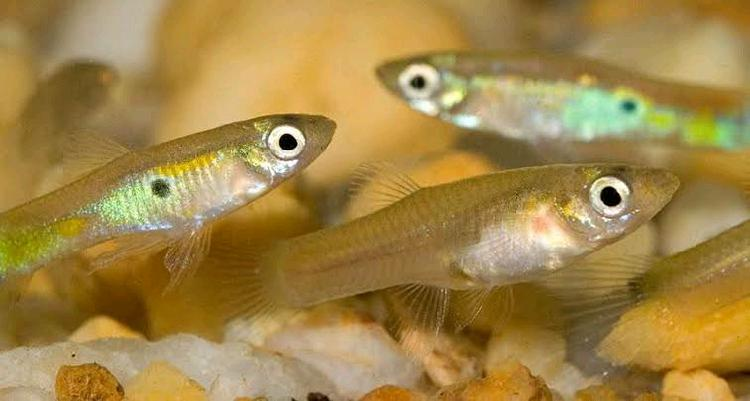 Rover guppies and daphnia available