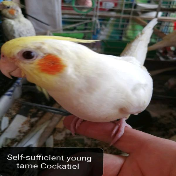 Self-sufficient young tame cockatiel