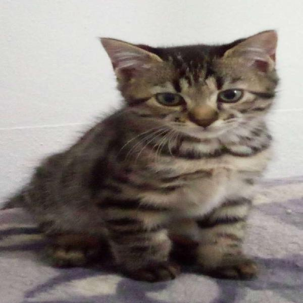 Beautiful bengal male kitten available