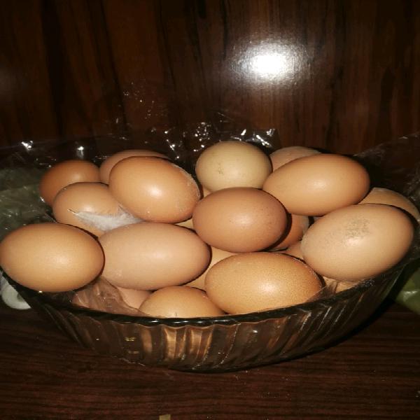 Lohmann brown fertile eggs for sale