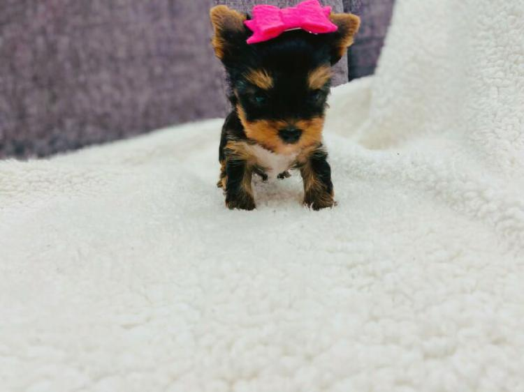 Yorkshire terrier puppy - extreme tiny tot