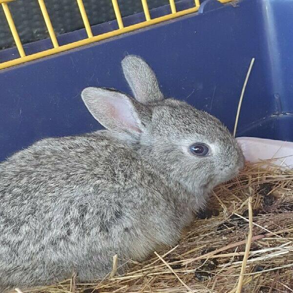 Baby dwarf mixed bunnies