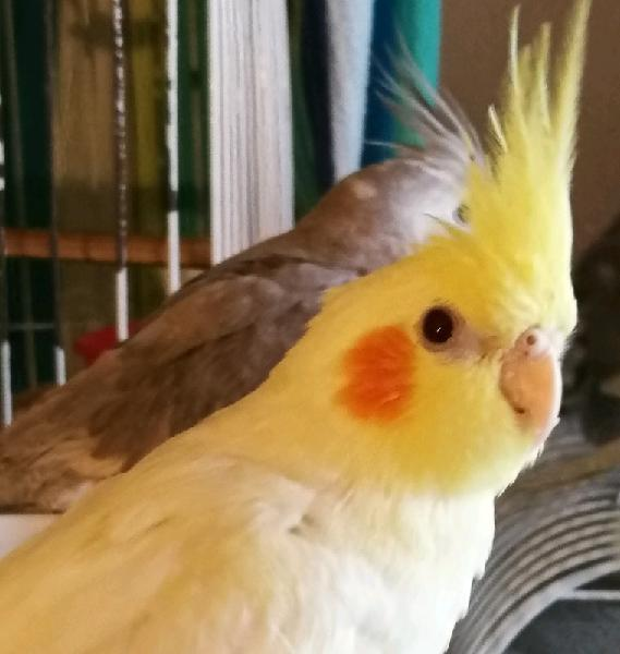 Tame self-sufficient young cockatiel