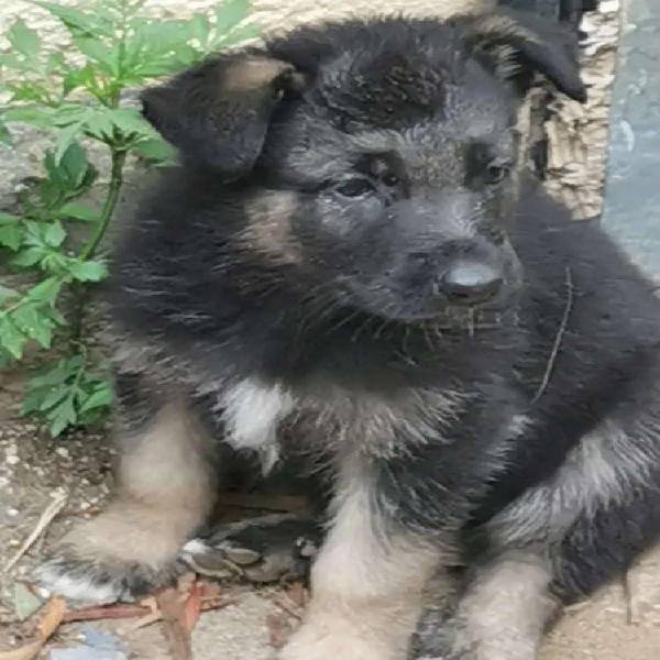 German Shepard puppies