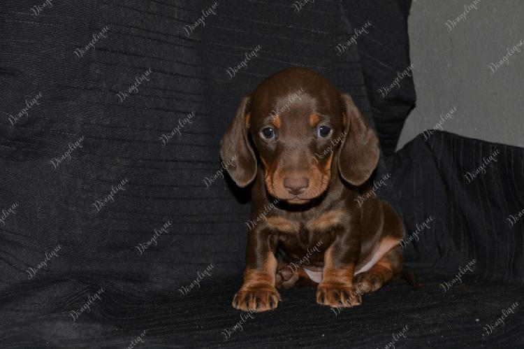Registered male puppies