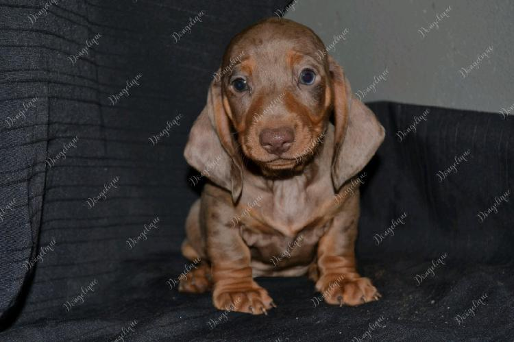 Registered miniature dachshund puppies