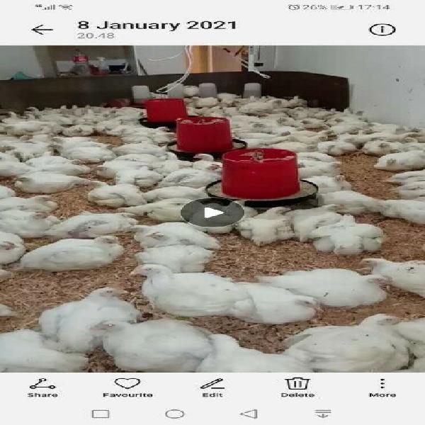 6week broiler chickens