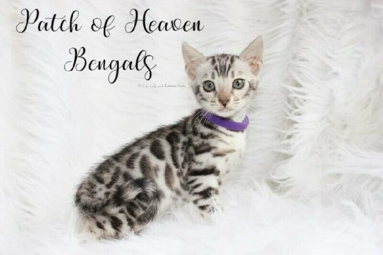 Bengal kittens for ssale