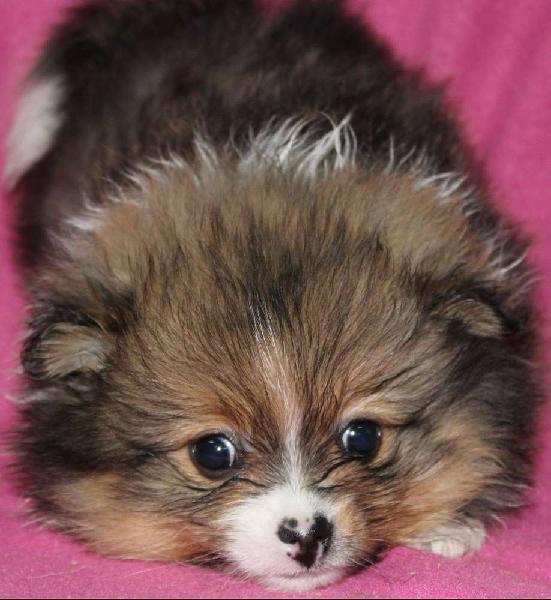 Pomeranian / toypom