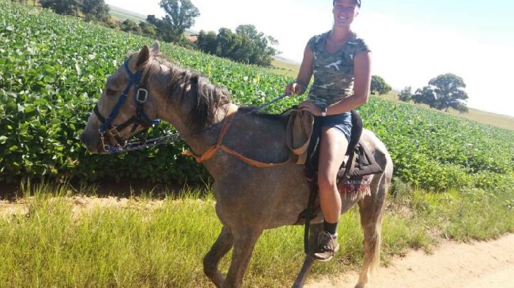 Boerperd friesian cross stallion