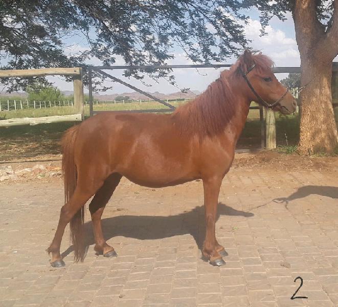 Registered miniature horse mare