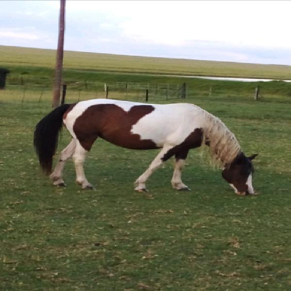 Horse and pinto's for sale untrained