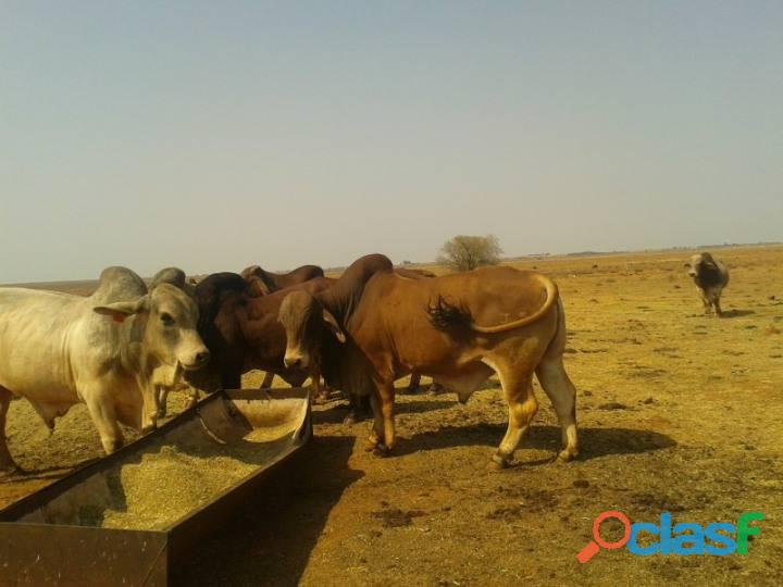 Cattles for Sale whatsapp +27734531381