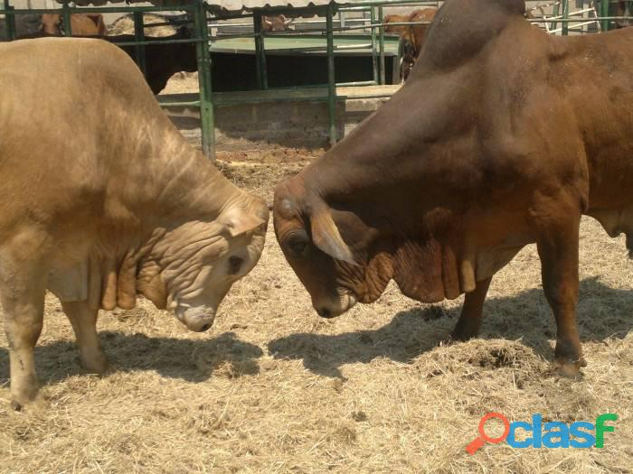 Cattles for Sale whatsapp +27734531381 1