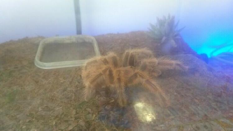 Tarantula's for sale
