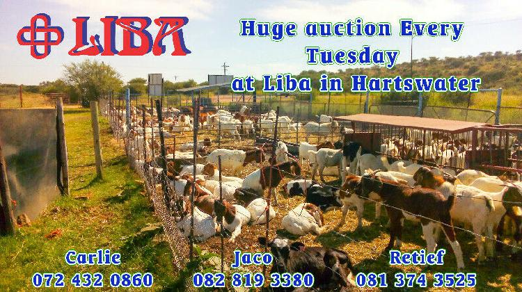 Goats and sheep and cattle for sale weekly