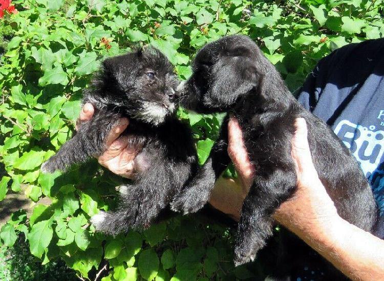 MORKIE PUPPIES AVAILABLE NOW****