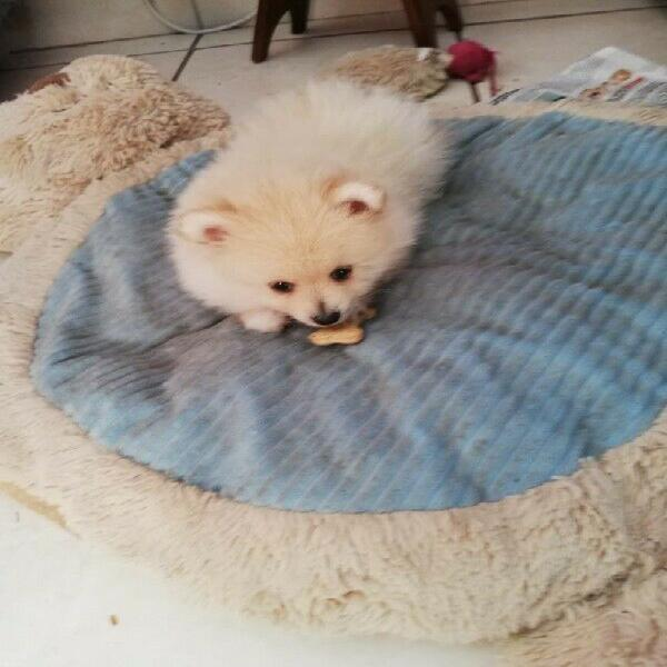Male Toypom for Sale