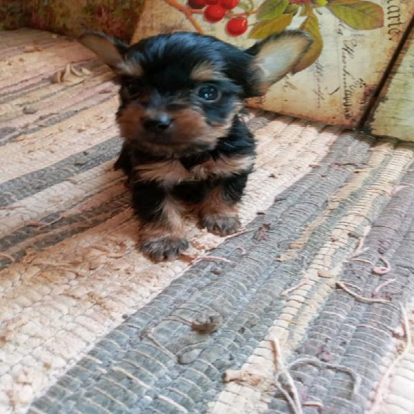 Yorkshire Terriers Males
