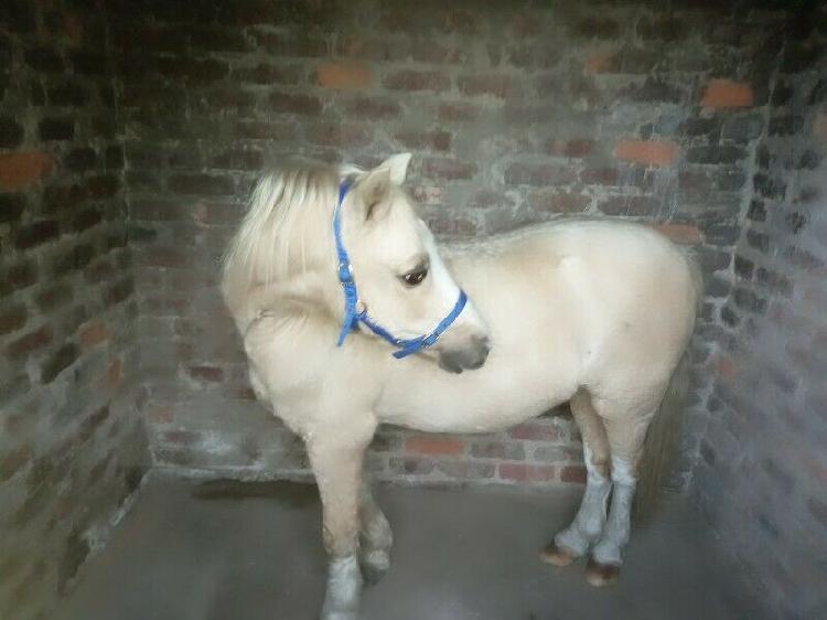 Arabian welsh stallion