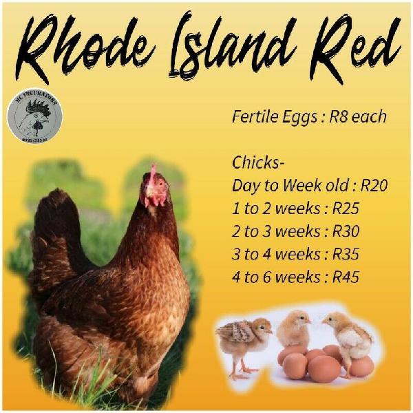 Rhode island red chicks