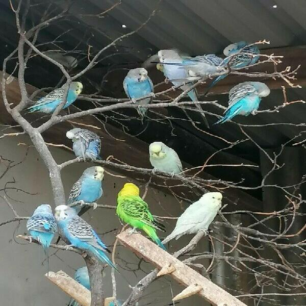 Budgies, diamond doves, finches