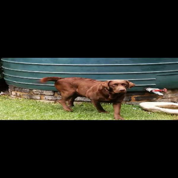 Registered chocolate labrador puppies