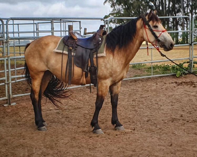Very stocky, big built beautiful buckskin percheron x mare