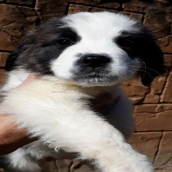 Beautiful saint bernard puppies