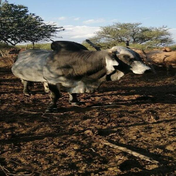 Cattle - Ad posted by Tumi Kwakwa