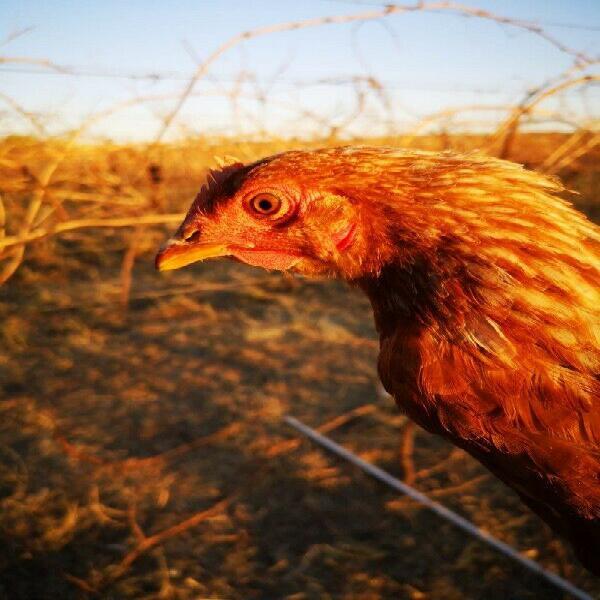 Lohmann brown hens