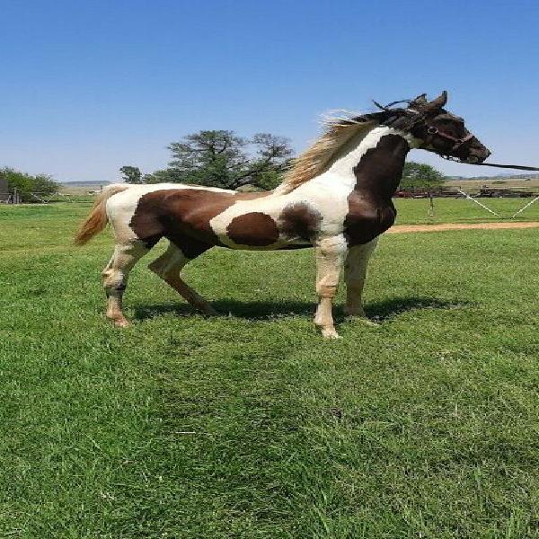 Registereg Pinto Saddlebred for sale