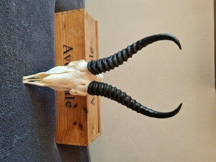 Springbok Skull