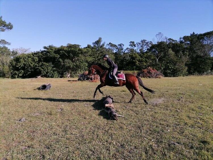 Tb gelding horse