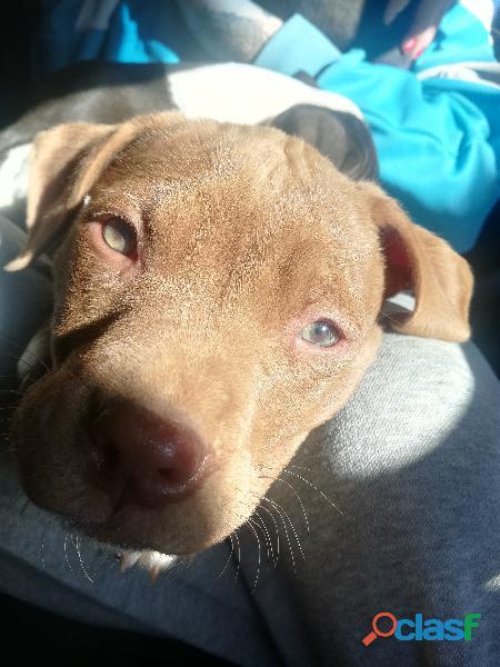 Pitbull puppies for sale Bloemfontein