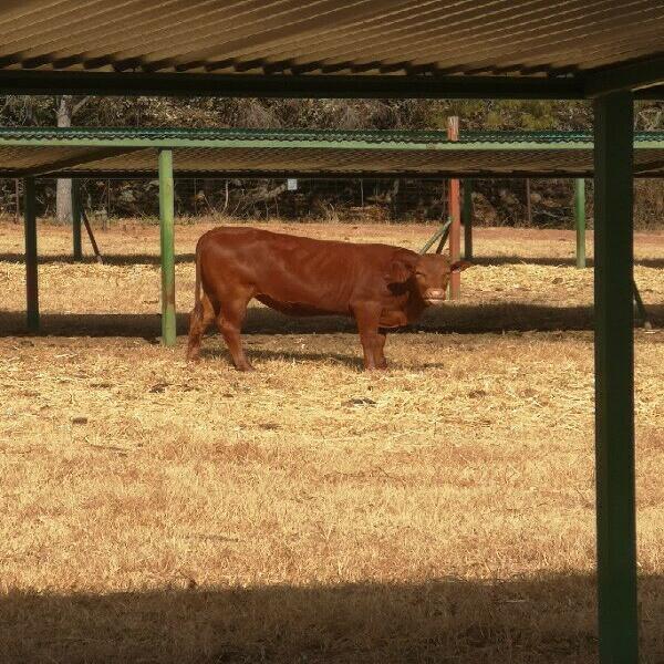Bonsmara Heifers for sale