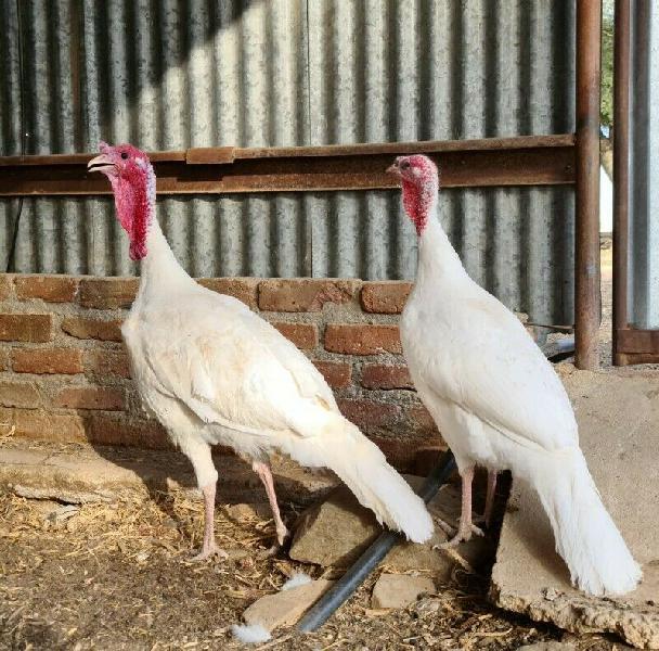 White Turkey Breeding Pair