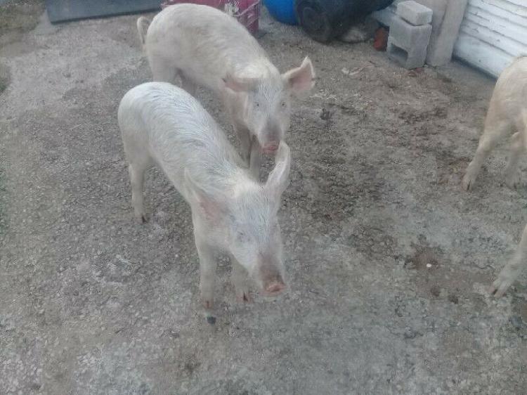 3 x free range gilt pigs for sale